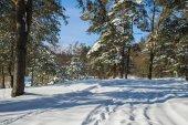 Villaggio di Pryazhevo, regione di Zhytomyr, Ucraina. Paesaggio invernale. Superficie della neve. Foresta conifera in inverno. Giorno gelido pieno di sole. Neve sugli alberi. Una giornata invernale. Priorità bassa di inverno. Strada forestale