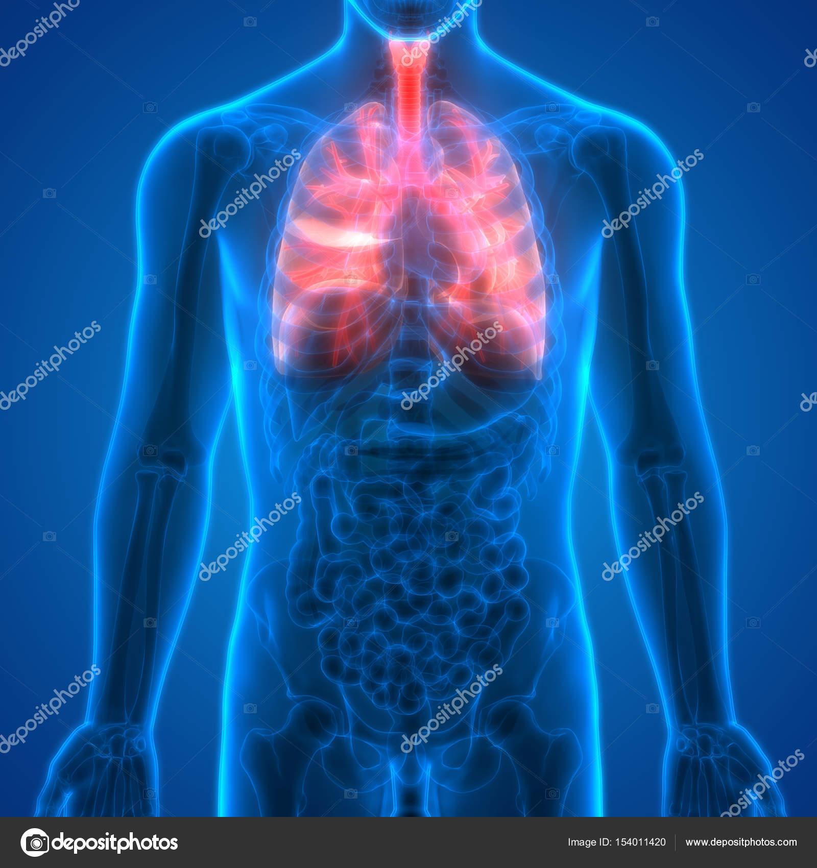 Human body organs lungs anatomy stock photo magicmine 154011420 human body organs lungs anatomy fotografia de stock ccuart Choice Image