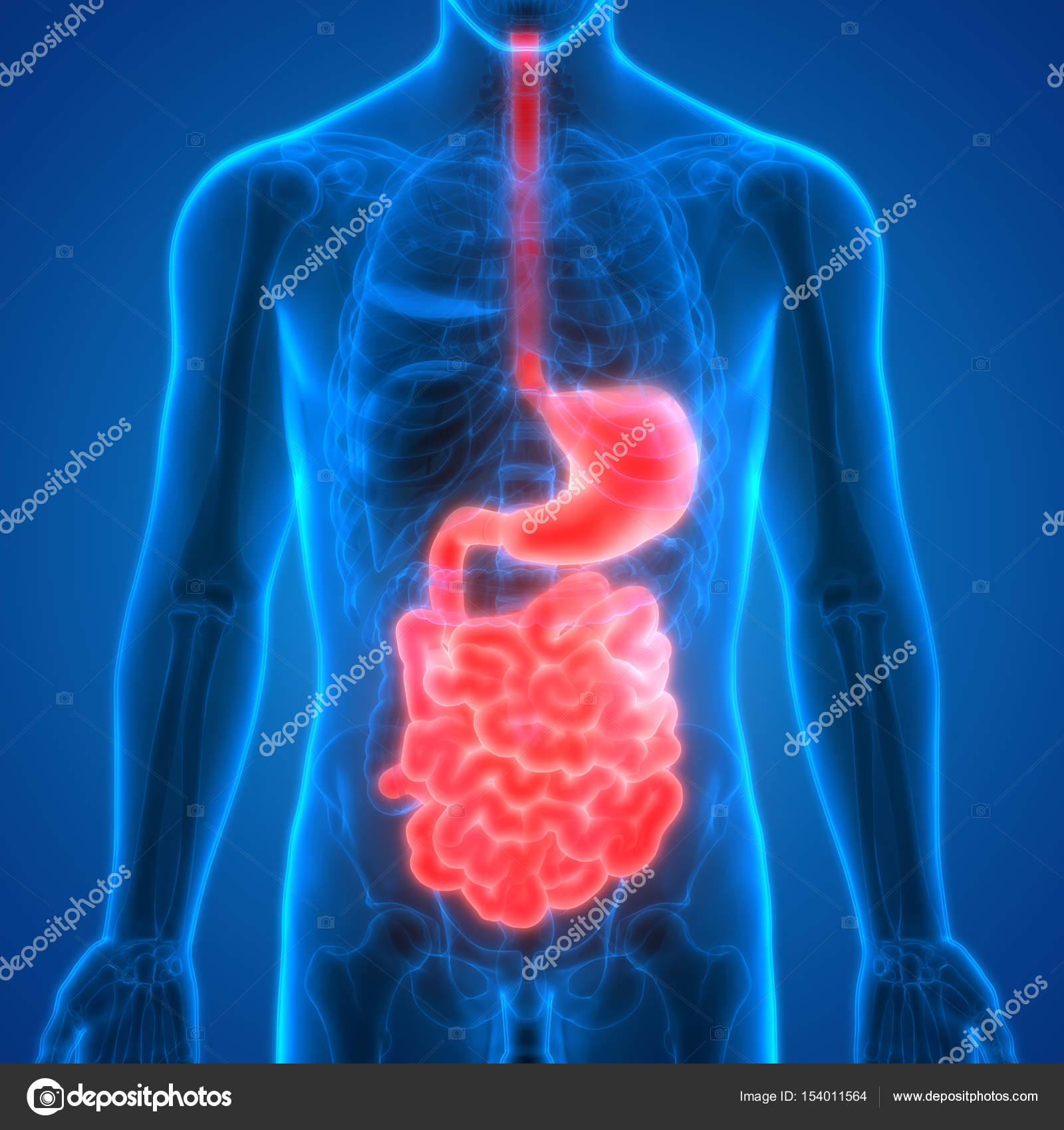 Human Digestive System Anatomy Stomach Small Intestine Stockfoto