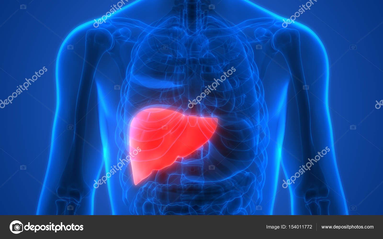 Human Body Organs Anatomy Liver Stockfoto Magicmine 154011772