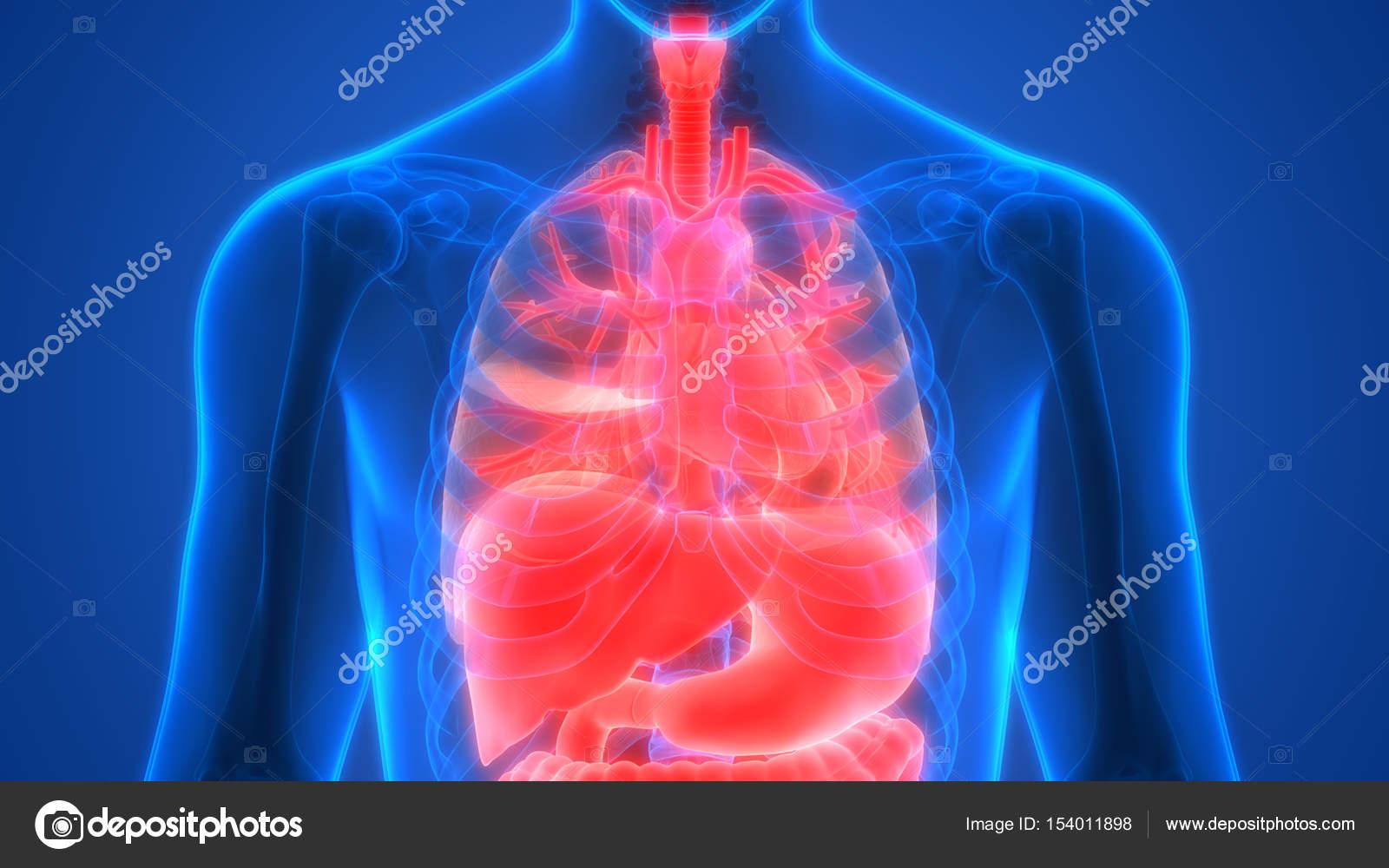 Anatomía Los Órganos Del Cuerpo Humano — Fotos de Stock © magicmine ...
