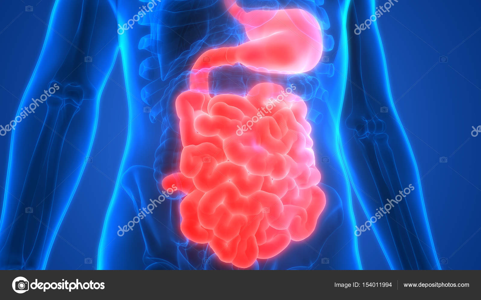 Human Digestive System Anatomy Stomach Small Intestine Stock Photo