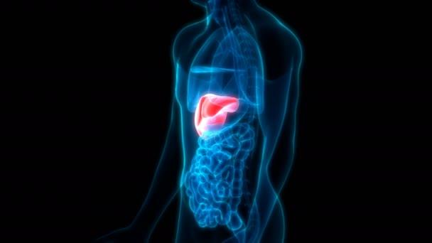 3D ilustrace Animace lidských vnitřních trávicích orgánů Anatomie jater
