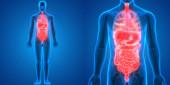 Anatomie lidského trávicího ústrojí (žaludek s tenkým střevem). 3D