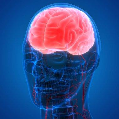 Human Brain Anatomy - Illustration