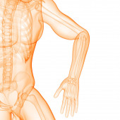 Human Skeleton Bone Bolest kloubů Anatomie (Hand Joint). 3D - ilustrace