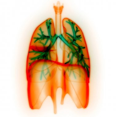 Human Respiratory System Lungs Anatomy. 3D
