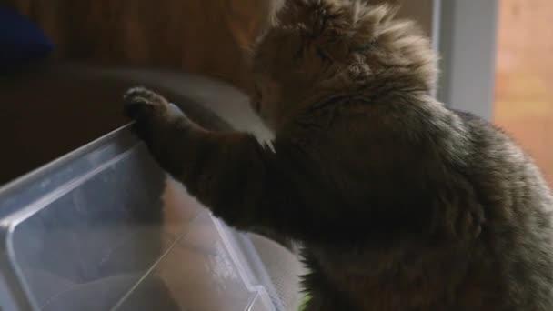 Eine flauschige Katze spielt mit einem Plastikdeckel und schlägt ihn mit einer Pfote. Nahaufnahme, Zeitlupe, 1920x1080, hd