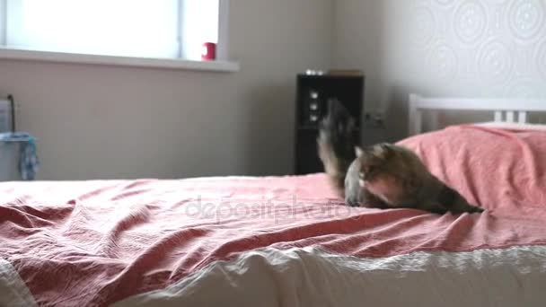 pelzige Katze spielt auf dem Bett, sie greift den Arm unter der Decke an. Zeitlupe, 1920x1080, hd