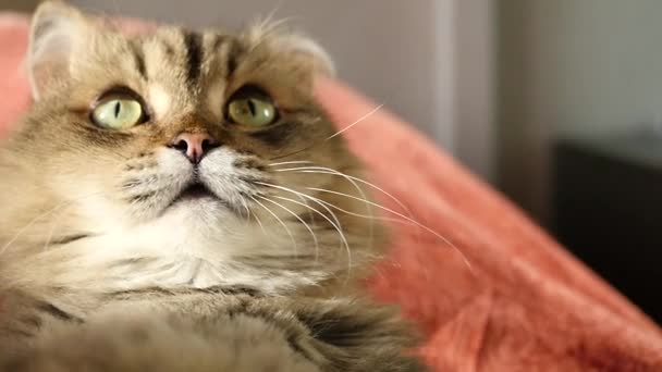 Načechraný funny kočka leží na zádech, vyhledá a lizy sám. HD, 1920 × 1080, pomalý pohyb.