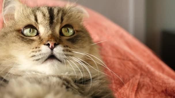 eine flauschige lustige Katze liegt auf dem Rücken, blickt nach oben, studiert etwas. hd, 1920x1080, Zeitlupe.