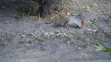 Squirrel with a fluffy tail jumps on the ground in an autumn park. slowmotion. HD. 1920x1080