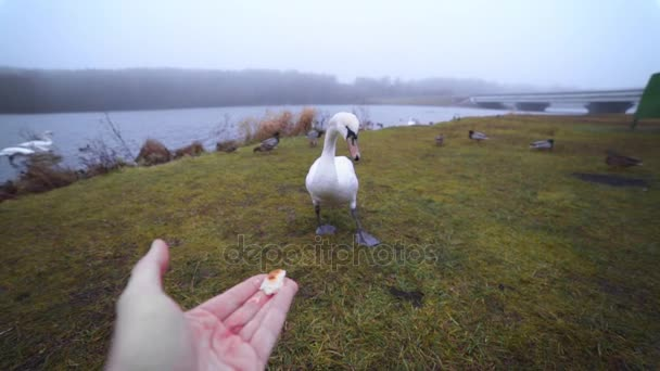 White swan eats from the mans hand near the lake in the wild, people feed birds, animals in wild life