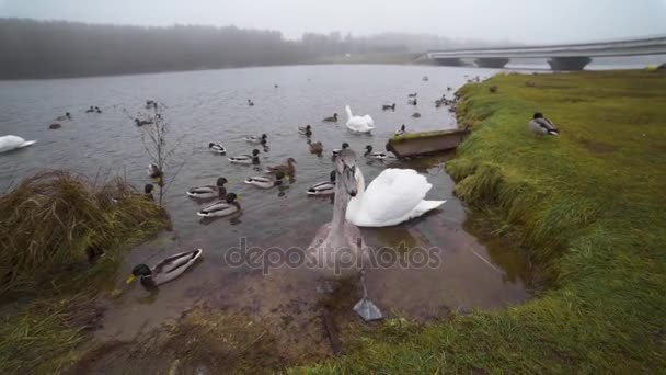 Young grey swan comes close to the camera near the lake in the wild, people feed birds, animals in wild life