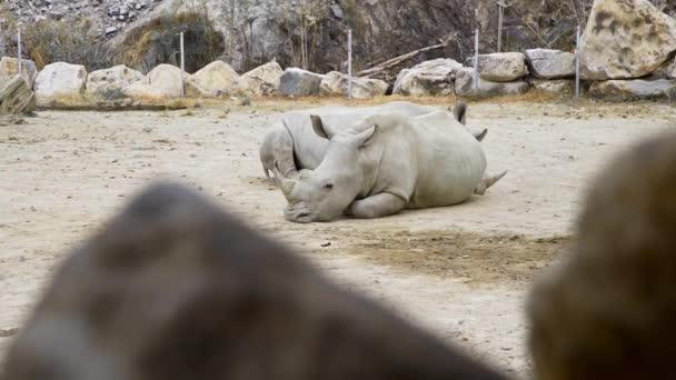 Rinoceronti bianchi giaceva nella polvere e hanno un periodo di riposo, animali nello zoo, rinoceronti in parco tropicale, esotico fauna africana, animali in via destinzione