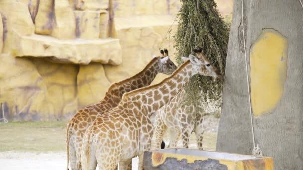 Coppia di giraffe mangia rami verdi allo zoo, gli animali nel parco safari, giraffe con il collo alto nel parco tropicale, lanimale più alto