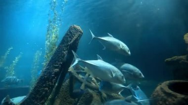 Tuna fishes swim in blue water near the old ships wreckage, fishes in blue sea, ocean life under water, school of fishes