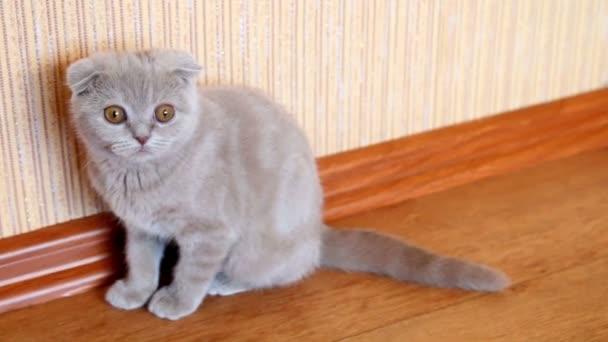 Skót szeres cica elszigetelt otthon