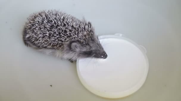 small grey prickly hedgehog gathering to drink milk from the plate