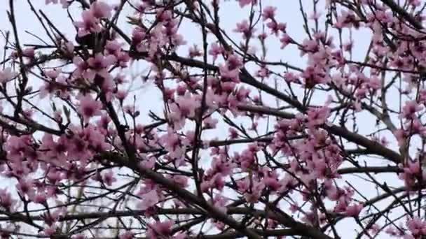 Úžasný růžový květ u broskvoně. Krásné přírodní pozadí