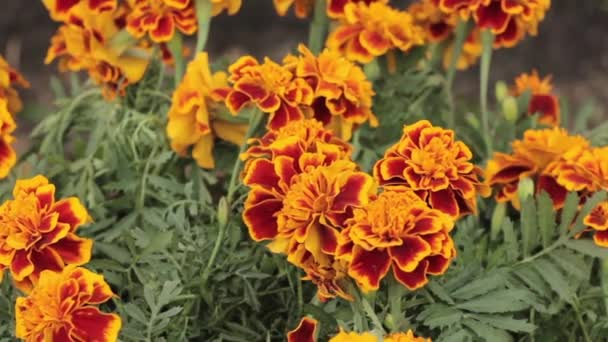French Marigold swaying in the wind, close up