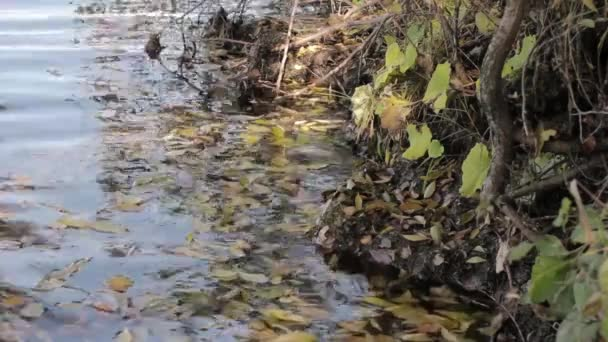 yellow leaf on the water, autumn in beautiful pond.