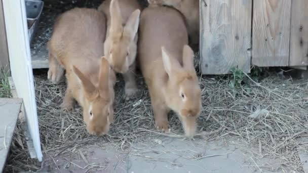 velký červený králík na malé farmě