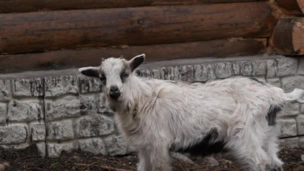Bílá koza pastvy v kontaktní zoo. artiodactyls na farmě. 4k
