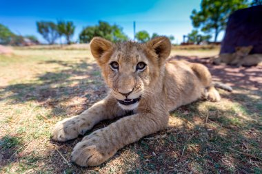 little Lion Cub in Africa
