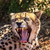 Cheetah, hunting leopard