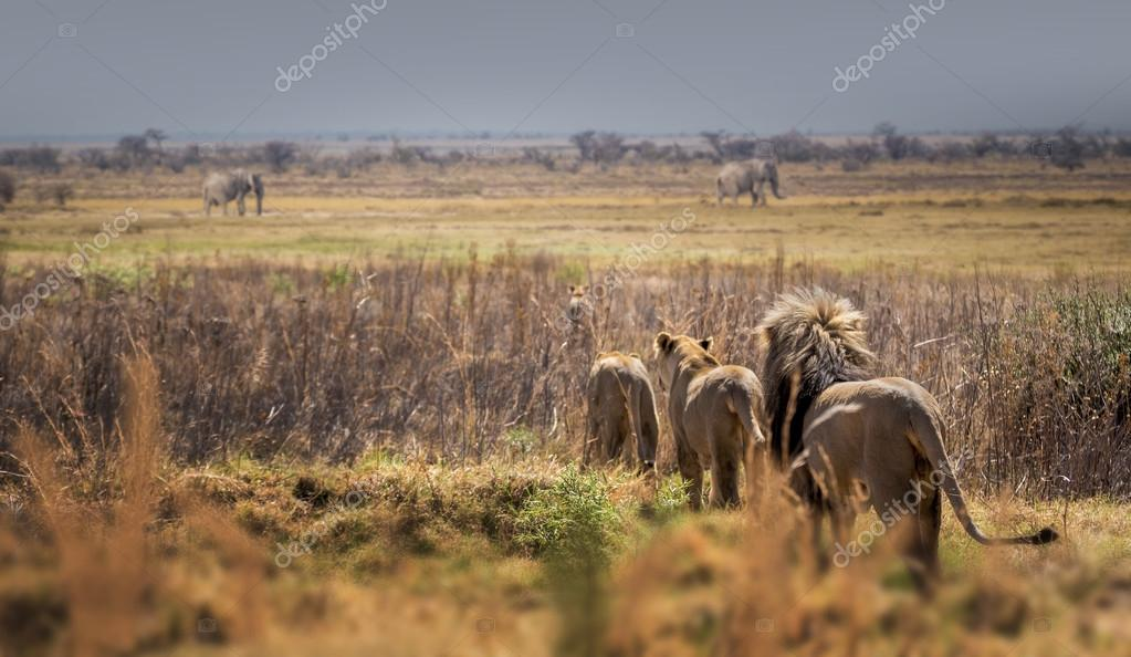 Lions group in wild nature