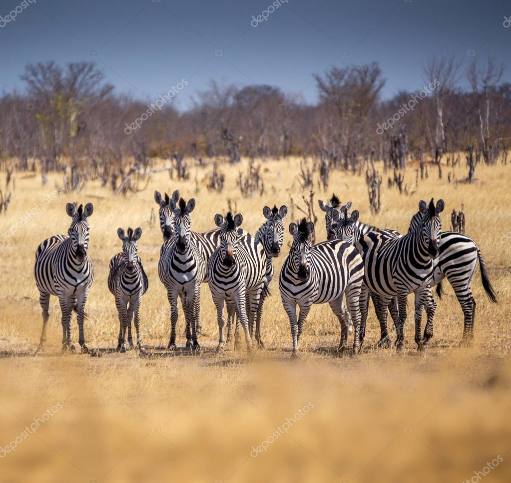 Herd of zebras in african savannah