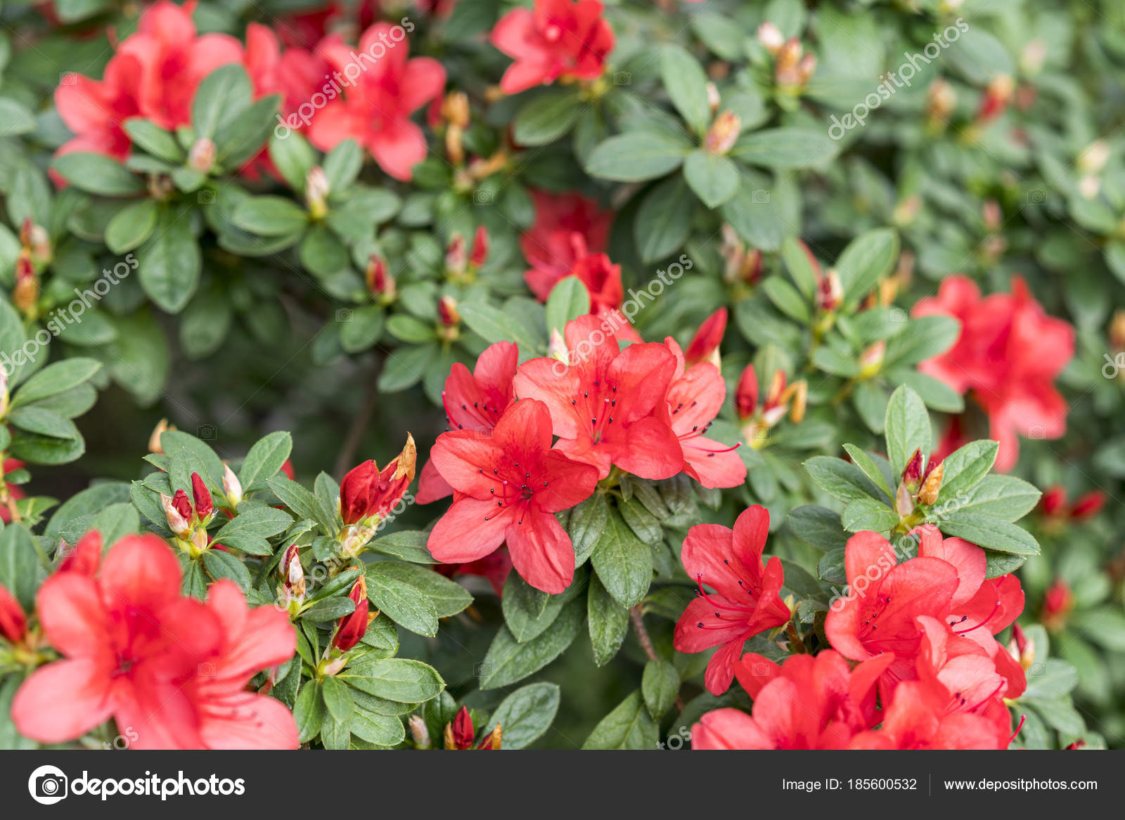 Big red azalea bush in the garden. Season of flowering azaleas ...