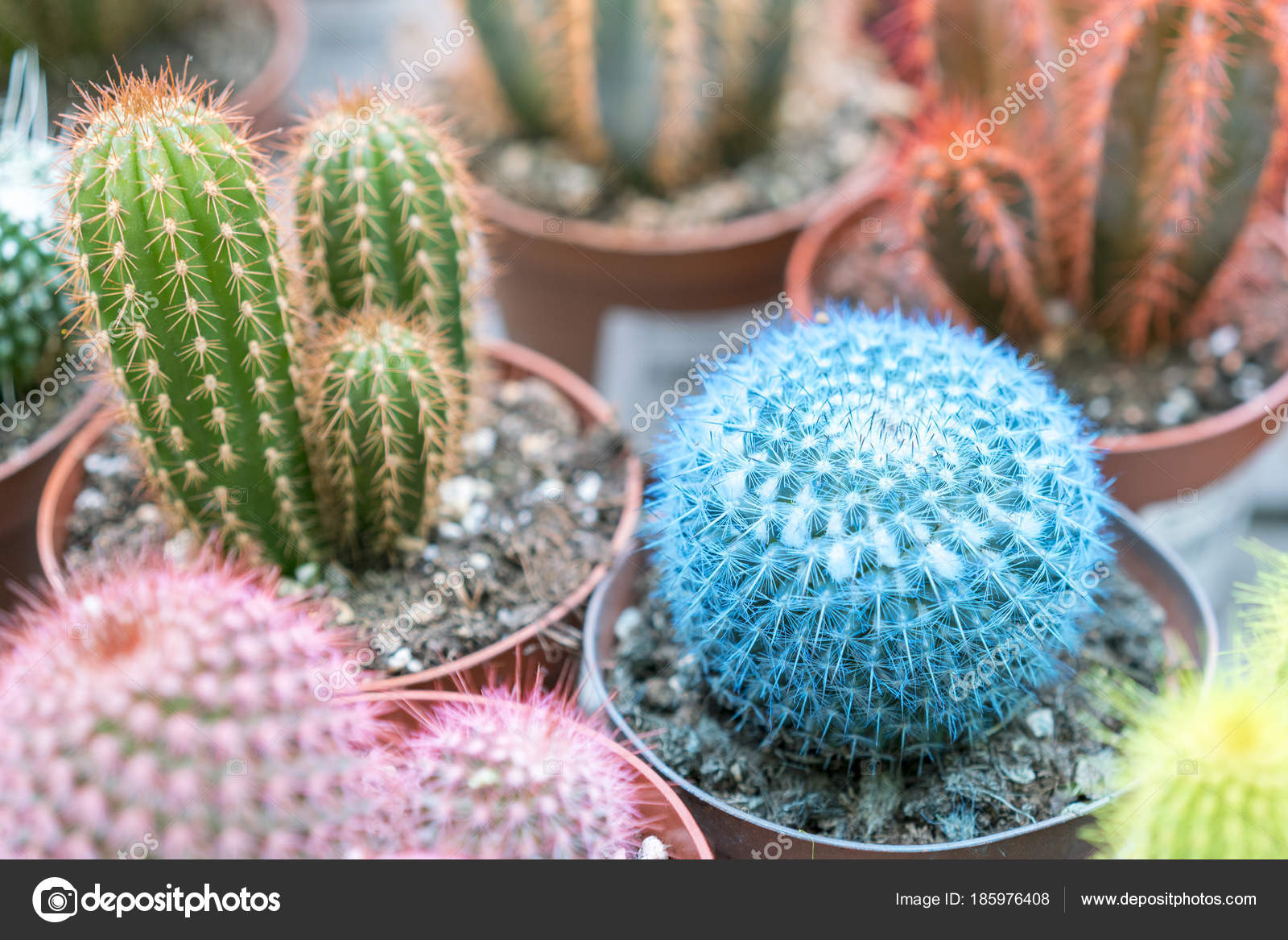 Small Multi Colored Cacti In Pots Pink Cactus Blue Cactus Stock Photo Image By C Colt Kiev Mail Ru 185976408
