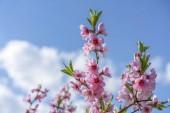 Fotografie Třešeň větev bud květ pozadí jako krásné jarní květiny kvetoucí sezóny koncept. Kvetoucí švestka. Růžová poupata closeup