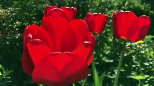 Tuiips Virágok sújtotta szél, tulipán gyönyörű csokor háttér. Tulipán. Gyönyörű tulipáncsokor. színes tulipánok. tulipán tavasszal, színes tulipán homályos háttérrel