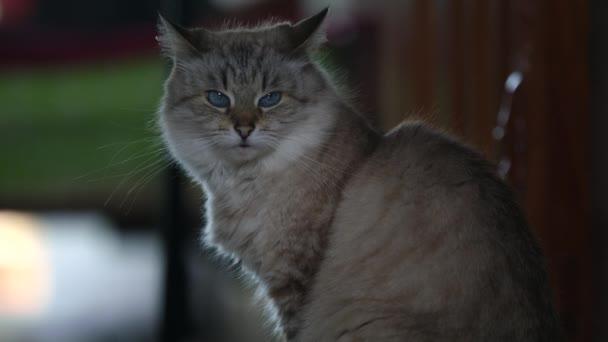 Šedá chlupatá kočka zblízka, skotská vysočina rovná kočička, hledící hodit kamerou