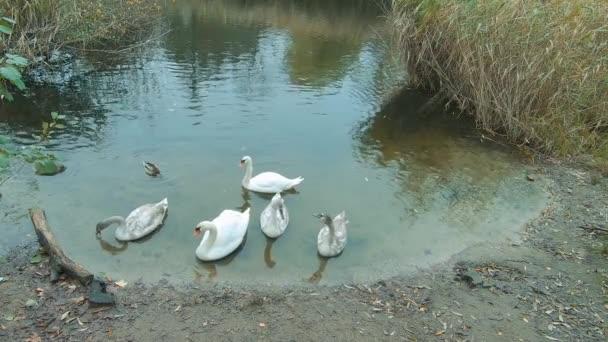 Zeitlupe von Schwänen auf einem Teich mit Schilf in Berlin, Deutschland im Herbst