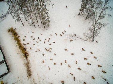 Siberian stag in the enclosure. Altai. Russia.
