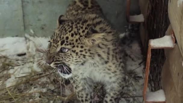 Young Amur Far-Eastern leopard