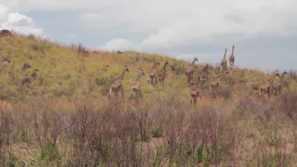 Stádo žiraf jdou na rubáš