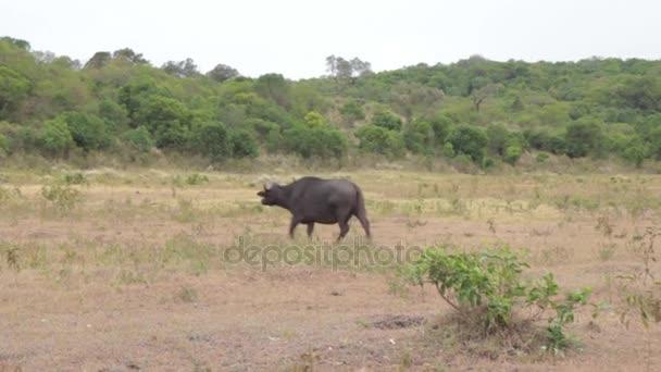 Cape buffalo herd standing in Safari