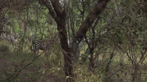 Zebra walking in safari