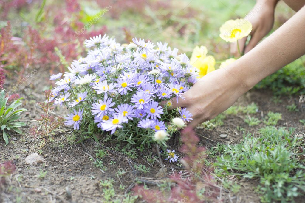 A woman collects wild flowers, daisies and poppies.