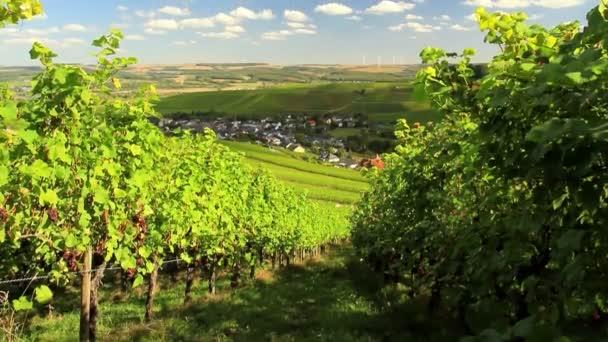 Vinice v Údolí Mosely v očekávání vintage.