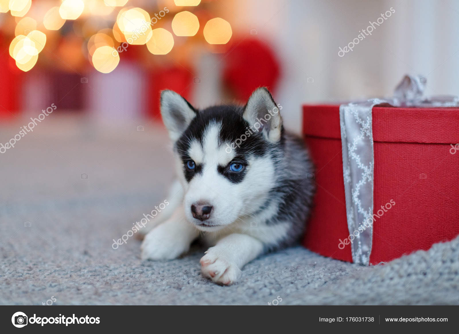 A Small Cute Black And White Husky Puppy Lies At The Red Gift B Stock Photo C Coy Creek 176031738