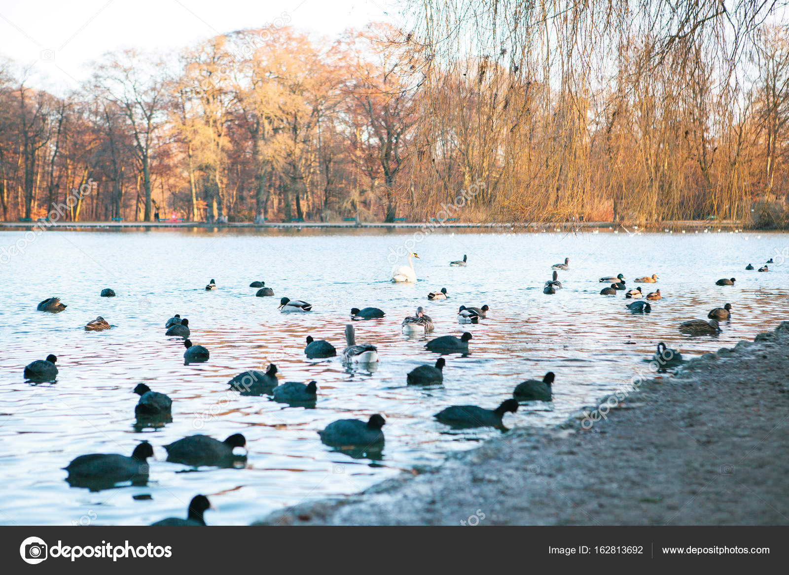 Vista Para O Lago Com Patos E Cisne No Englischer Garten Ou Jardim Inglês  Em Munique