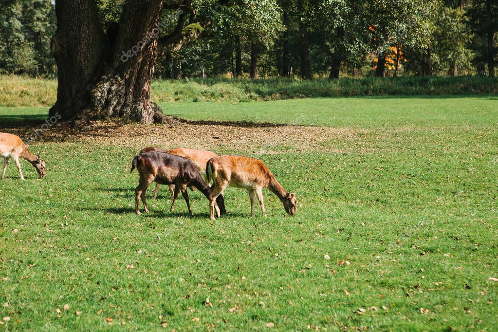 Young roe-deers walk through the park