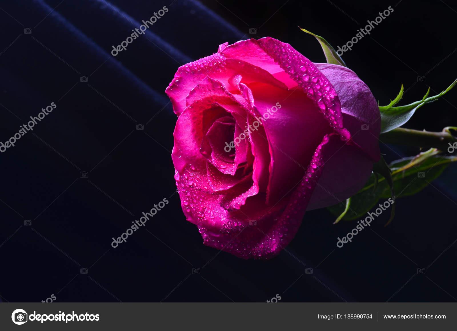 Una Gemma Di Una Rosa Rossa Olandese Isolata Su Sfondo Nero Foto