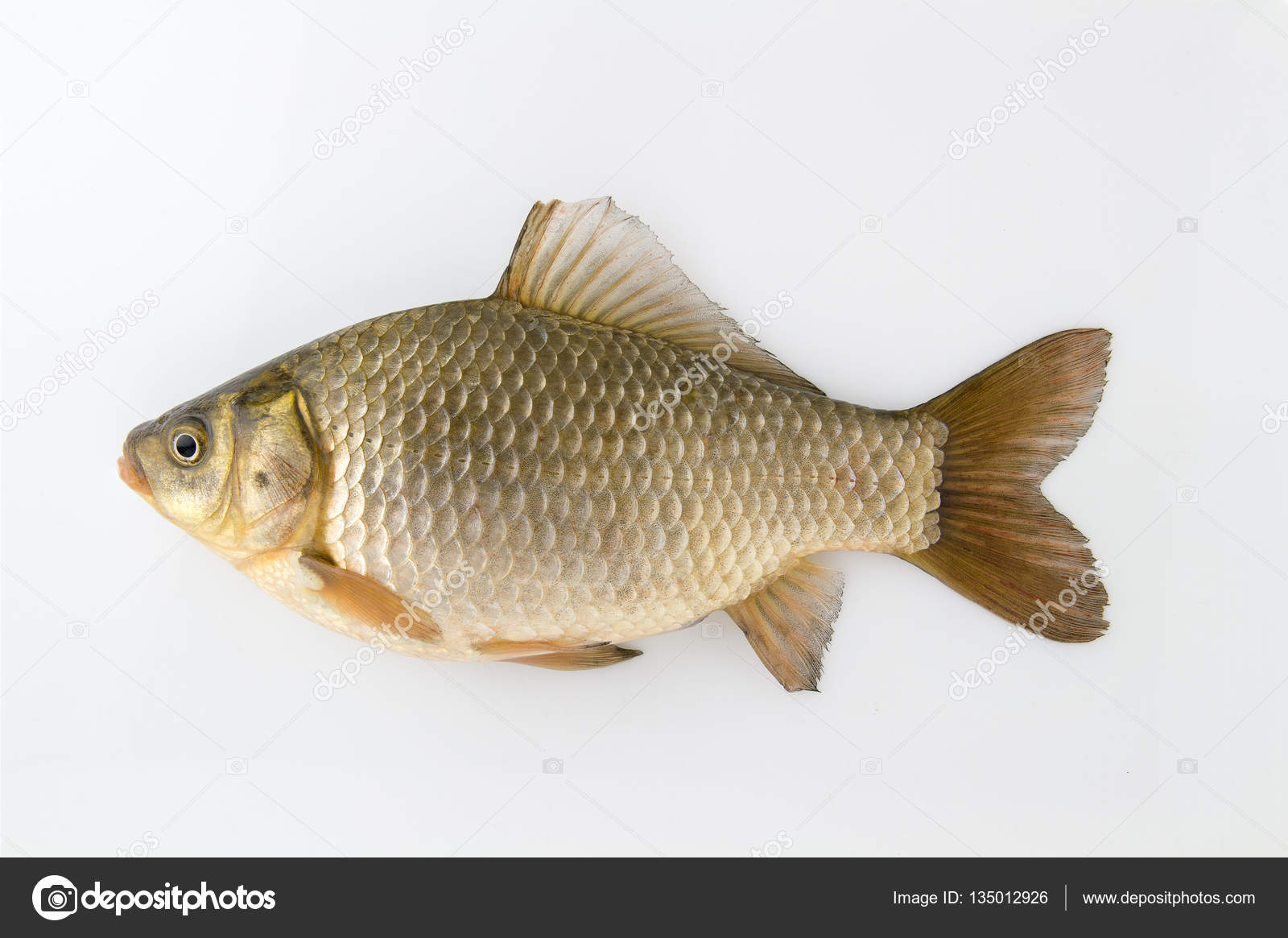 Silver Carp Fish | Live Fish Silver Carp Stock Photo C Oleg Skirta Yandex Ru 135012926